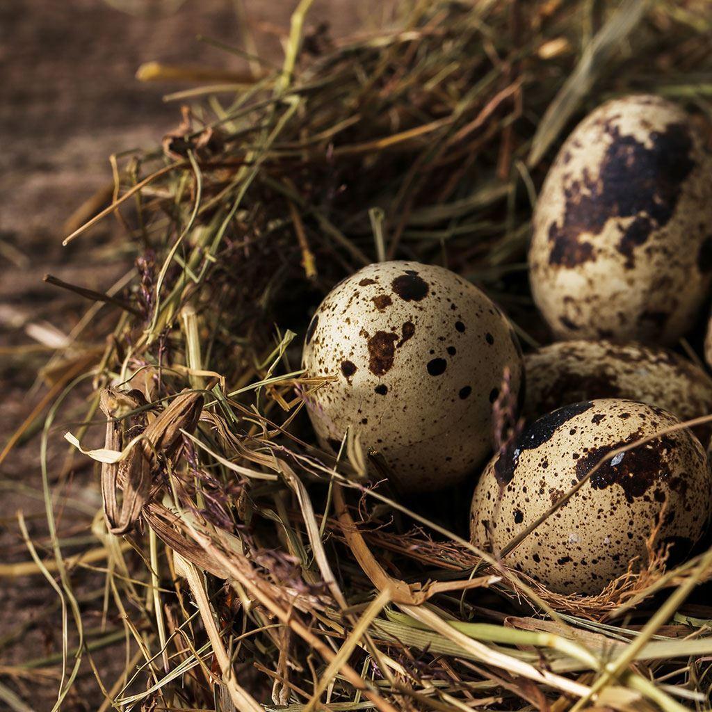 Bıldırcın Yumurtası 12'li Paket